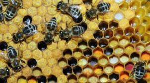 Bee-Pollen-1