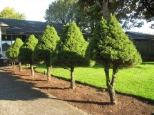 Evergreen Trees Melbourne